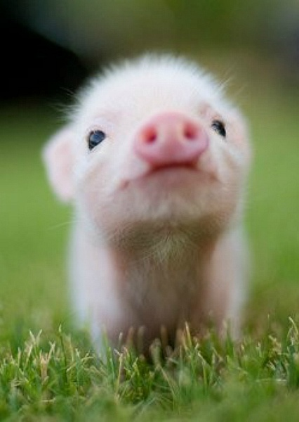 little piggy pie